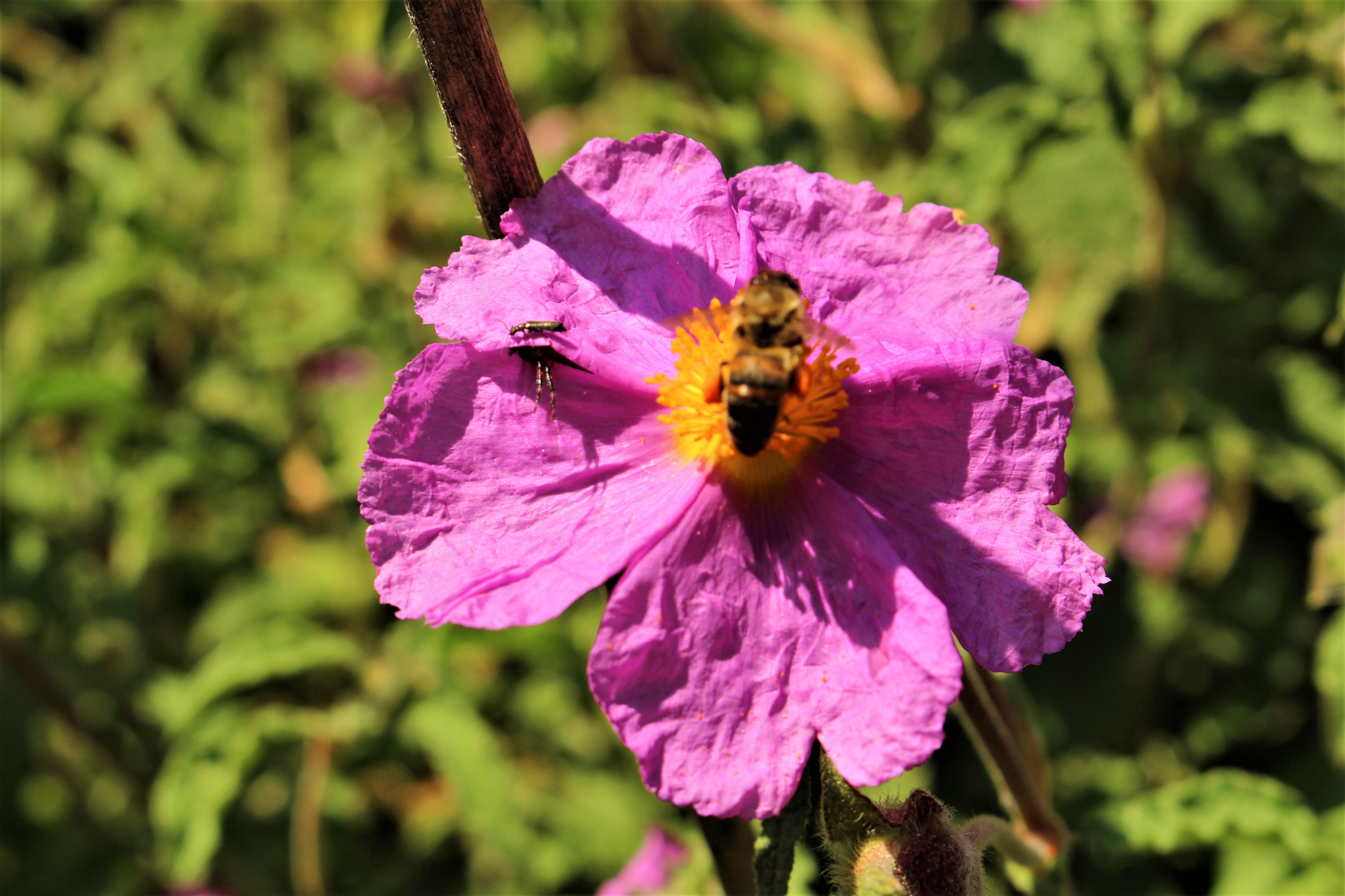 Çiçek, arı, Ada florası, doğa, pembe çiçek