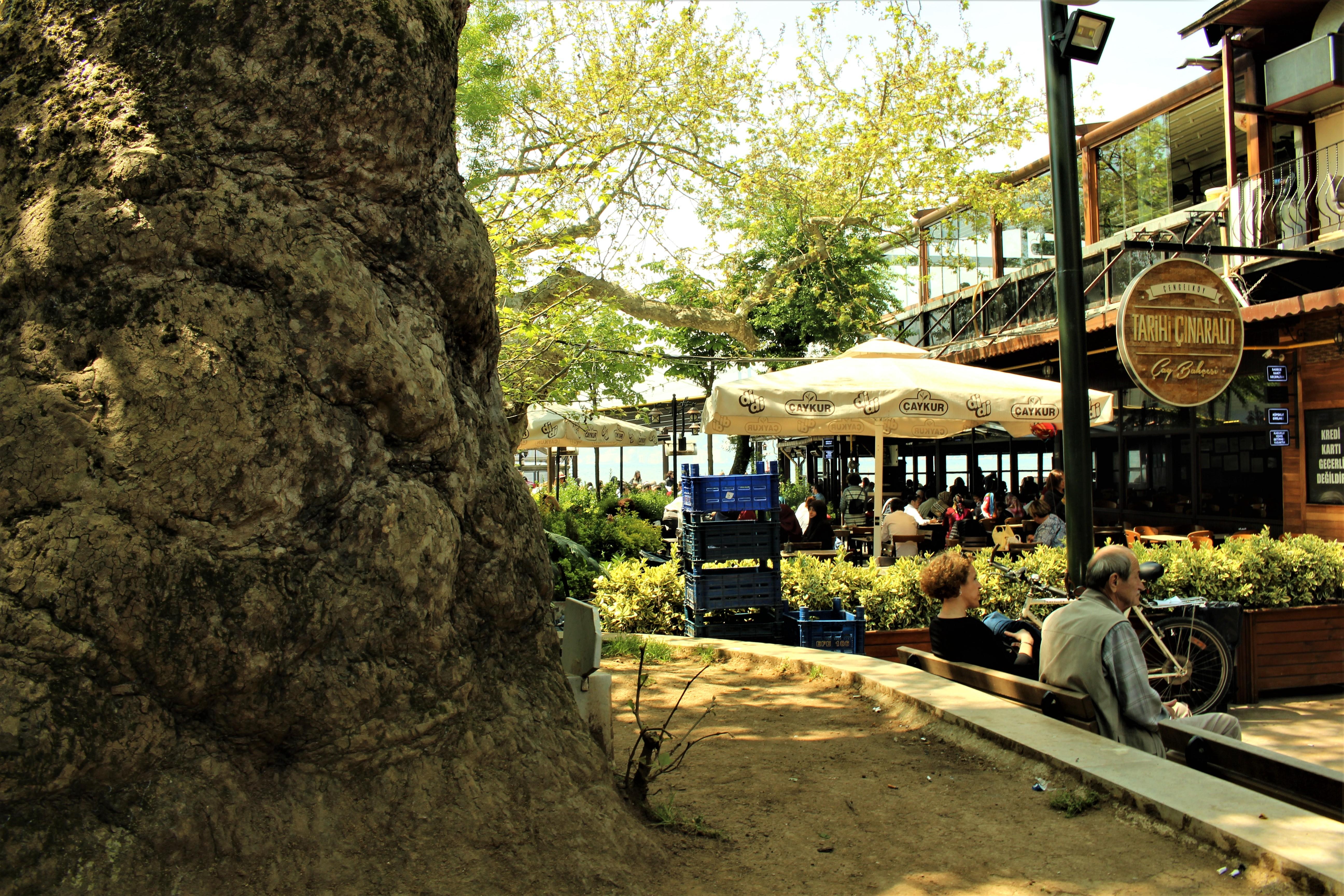 Çengelköy, çınaraltı çay bahçesi, asırlık çınar